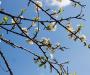 Mùa hoa mận nở trắng trời trên cao nguyên Mộc Châu